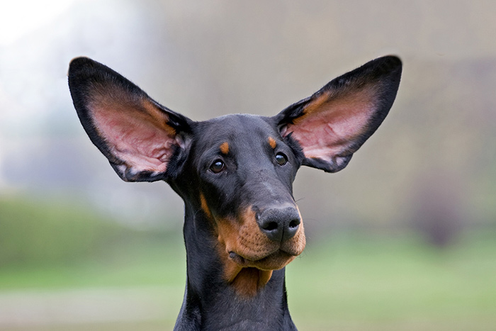 купирование ушей у щенков добермана москва